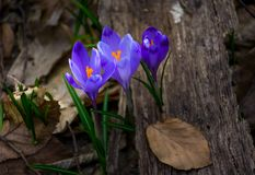 Purple crocus flowers in forest. Purple crocus flowers on meadow among foliage and green grass. sunny day in forest. beautiful springtime nature. top viewpoint Stock Photo
