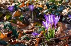 Purple crocus flowers in forest. Purple crocus flowers among weathered foliage in forest on a sunny day. beautiful springtime nature background royalty free stock photos