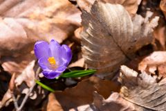 Purple crocus flowers in forest. Purple crocus flowers among weathered foliage in forest on a sunny day. beautiful springtime nature background Royalty Free Stock Images
