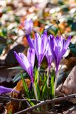 Purple crocus flowers in forest. Purple crocus flowers among weathered foliage in forest on a sunny day. beautiful springtime nature background royalty free stock photo