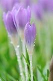 Purple Crocus Flowers in garden stock image