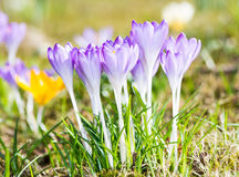 Purple Crocus Flowers Royalty Free Stock Photography