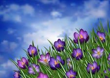 Purple crocus flowers Royalty Free Stock Photo