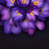 Purple crocus flowers. Illustration of purple crocus flowers with dark background Stock Photos