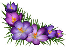 Purple crocus flowers. Illustration of floral corner with purple crocus flowers and leaves Stock Photos