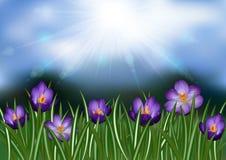 Purple crocus flowers vector illustration