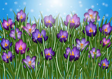 Purple crocus flowers. Illustration of purple crocus flowers with sky background Royalty Free Stock Images