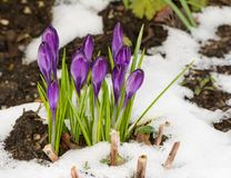 Free Purple Crocus Flowers In The Snow Stock Images - 116331174