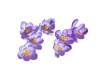Purple crocus Stock Photography