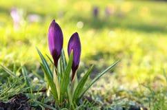 Purple crocus flowers in morning sunlight Royalty Free Stock Photos