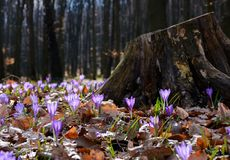 Purple crocus flowers near the stump. Beautiful springtime scenery in forest on a sunny day. power of nature concept Stock Photography