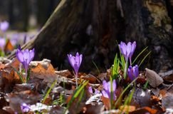 Purple crocus flowers near the stump. Beautiful springtime scenery in forest on a sunny day. power of nature concept Royalty Free Stock Images