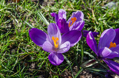 Purple Crocus flowers opened Stock Photography