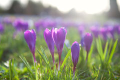 Purple crocus flowers outdoors Royalty Free Stock Photo