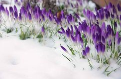 Crocus in snow Stock Images