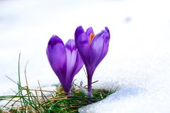 Purple crocus flowers in snow awakening in spring. To the warm gold rays of sunlight Stock Photos