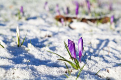 Crocus flowers  in snow Royalty Free Stock Photos