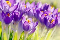 Purple Crocus Flowers, Spring Background Stock Photo