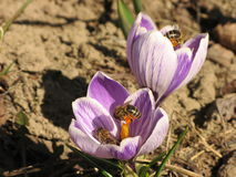 Purple crocus flowers in spring Stock Photography