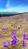 Purple Crocus flowers on spring mountain royalty free stock photos