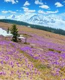 Purple Crocus flowers on spring mountain stock image