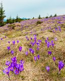 Purple Crocus flowers on spring mountain royalty free stock images