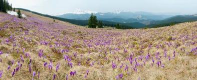 Purple Crocus flowers on spring mountain hill stock photo