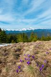 Purple Crocus flowers on spring mountain stock photography