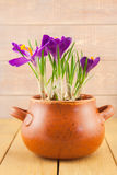 Purple crocus flowers in a vase pot Stock Image