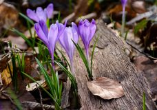 Purple crocus flowers among the weathered foliage. Beautiful springtime scenery in forest Royalty Free Stock Photos