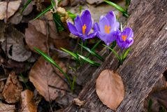 Purple crocus flowers among the weathered foliage. Beautiful springtime scenery in forest Stock Image