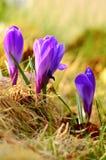 Purple crocus Stock Image