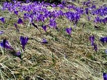 Purple crocus in the grass stock photo