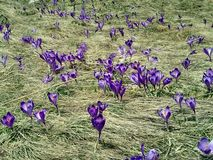 Purple crocus in the grass royalty free stock photography