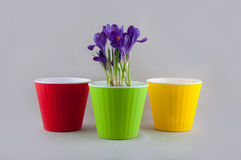 Purple crocus in green pot and two empty colorful plastic flowerpots Royalty Free Stock Photography