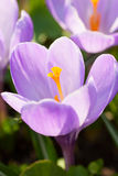 Purple crocus group with yellow stamens Royalty Free Stock Photography