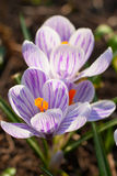 Purple crocus group with yellow stamens Royalty Free Stock Images