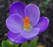 Purple crocus royalty free stock image