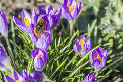 Purple crocus made his way through the soil with bee. Purple crocus made his way through the soil with bee Stock Photos
