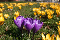Purple crocus mavericks. Encircled by yellow ones stock photography