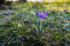 Purple crocus on a meadow royalty free stock image