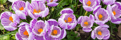 Free Purple Crocus Panorama Royalty Free Stock Photo - 39440195