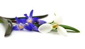 Purple crocus plant vase Royalty Free Stock Images