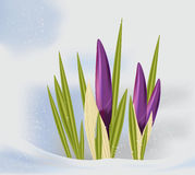 Purple crocus in the snow . Stock Image