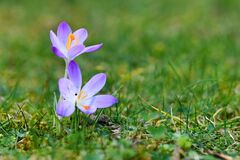 Free Purple Crocus Spring Flower On Blurry Grass Background Blooming During Late Winter In February Royalty Free Stock Photo - 173095105