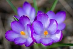 Purple crocus spring flowers stock image