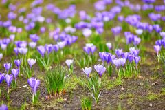 Purple crocus at spring Royalty Free Stock Photo