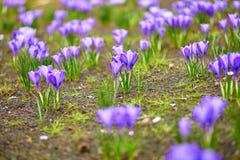 Purple crocus at spring Royalty Free Stock Photo