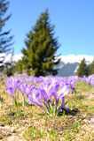 Purple crocus in spring season Stock Images