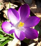 Purple crocus in the sun royalty free stock images